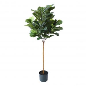 fiddle-tree-1-5m